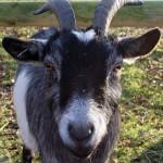 Closeup_goat_portrait